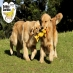 Golden Retriever Brasil